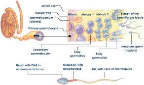 دانلود مقاله اسپرماتوژنزيس
